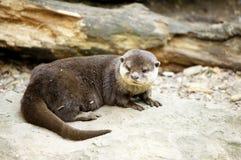 Kleiner Otter Stockbild