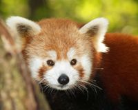 Kleiner Panda Lizenzfreies Stockfoto