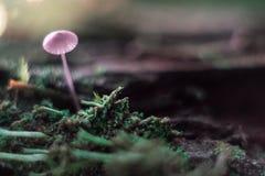 Kleiner Pilz auf einem Stumpfmakro im Wald lizenzfreie stockfotografie