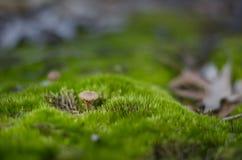 Kleiner Pilz im Gras Stockfotografie