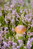 Kleiner Pilz im Heidekraut Stockfotos