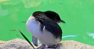 Kleiner Pinguin West-Australien stock footage