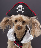 Kleiner Piraten-Hund Stockbilder
