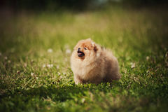 Kleiner Pomeranian-Welpe Stockfotos