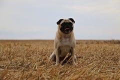 Kleiner Pug auf einem Stoppelfeld stockfoto