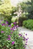 Kleiner purpurroter Blumenvordergrund gegen Hintergrund mit grünen Bäumen und Weg im Garten stockbilder
