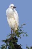 Kleiner Reiher (Egretta garzetta) Lizenzfreies Stockbild