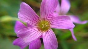 Kleiner rosa Mini Flower Stockfotos