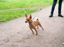 Kleiner roter Hund auf Leine auf Hintergrund des Gartens Lizenzfreie Stockfotos