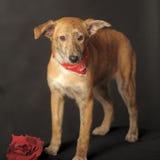 Kleiner roter Hund in einem roten Schal um seinen Hals in einem Studio Lizenzfreie Stockfotografie