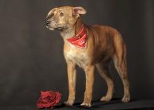 Kleiner roter Hund in einem roten Schal um seinen Hals in einem Studio Lizenzfreies Stockfoto