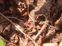 kleiner roter Käfer auf Waldbraunherbst-Bodenfrühling Stockfoto
