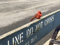 Kleiner roter Robin Bird Perched auf Polizei-Zeichen kreuzen nicht Barrikaden-Zaun lizenzfreie stockfotos