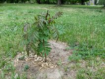 Kleiner Sämling des essigsauren Baums mit grün-roten langen Blättern wächst im Boden auf dem Rasen Lizenzfreie Stockbilder