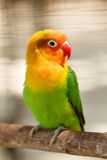 Kleiner schöner grüner Papageienwellensittich Lizenzfreies Stockfoto