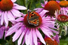 Kleiner Schildpatt-Schmetterling auf einem Echinacea Flowe Lizenzfreies Stockfoto