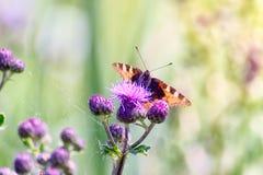 Kleiner Schildpatt-Schmetterling auf einer schottischen Distel Lizenzfreie Stockbilder