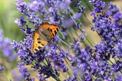 Kleiner Schildpattschmetterling, der auf Lavendel genießt stockfotos