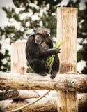 Kleiner Schimpanse sitzt auf dem hölzernen Bau, Tier Stockbild