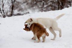 Kleiner Schlittenhund beißt ein anderes Lizenzfreie Stockfotos