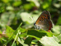 Kleiner Schmetterling auf dem glänzenden Blatt Lizenzfreie Stockfotografie
