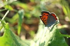 Kleiner Schmetterling auf dem glänzenden Blatt Lizenzfreie Stockfotos