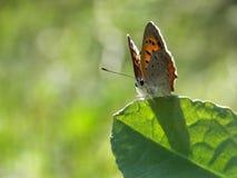 Kleiner Schmetterling auf dem glänzenden Blatt Stockfotos