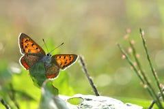 Kleiner Schmetterling auf dem glänzenden Blatt Stockfoto