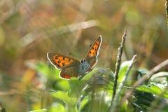 Kleiner Schmetterling auf dem glänzenden Blatt Stockbilder