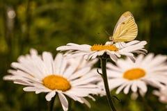 Kleiner Schmetterling auf eine blühende Gänseblümchenblume Lizenzfreie Stockbilder