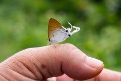 Kleiner Schmetterling gehockt auf einem Daumen Stockfotografie