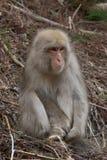 Kleiner Schnee-Affe, der in getrockneten Niederlassungen sitzt Lizenzfreies Stockfoto