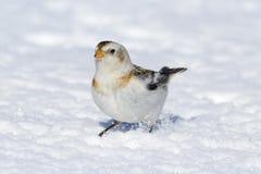 Kleiner Schneeammervogel, der im weißen Winterschnee steht Lizenzfreies Stockbild