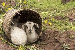 Kleiner Schutz des Lamms zwei Lizenzfreies Stockbild