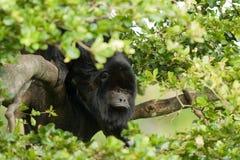 Kleiner schwarzer Affe auf einer Niederlassung Lizenzfreies Stockbild