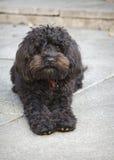 Kleiner schwarzer Hund Lizenzfreie Stockfotografie