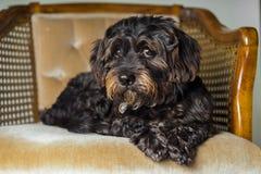 Kleiner schwarzer Hund, der auf Stuhl liegt Lizenzfreie Stockfotos