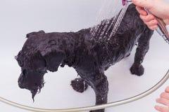 Kleiner schwarzer Hund, der ein Bad hat Stockfotos