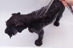 Kleiner schwarzer Hund, der ein Bad hat Stockbilder