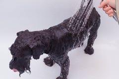 Kleiner schwarzer Hund, der ein Bad hat Lizenzfreies Stockbild