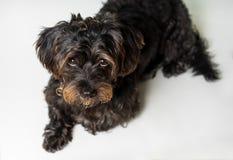 Kleiner schwarzer Hund, der sich auf Weiß hinlegt Stockfotos