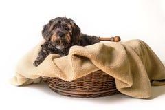 Kleiner schwarzer Hund im Korb, der sich hinlegt Stockbilder