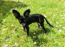Kleiner schwarzer Mischhund geht in den Garten lizenzfreie stockfotografie