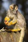 Kleiner schwarzer mit einer Kappe bedeckter Eichhörnchenfallhammer Lizenzfreie Stockfotos