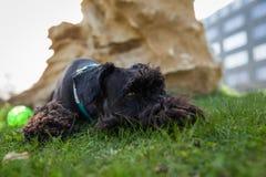 Kleiner schwarzer Schnauzerhund, der auf grüner Wiese liegt Stockbild