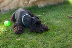 Kleiner schwarzer Schnauzerhund, der auf grüner Wiese mit seinen Spielwaren GR liegt Lizenzfreie Stockfotografie