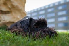 Kleiner schwarzer Schnauzerhund, der auf grüner Wiese mit seinen Spielwaren GR liegt Lizenzfreies Stockbild
