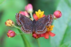 Kleiner schwarzer und brauner Schmetterling auf Blume lizenzfreies stockbild