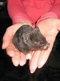 Kleiner schwarzer und netter Hamster in den Händen Lizenzfreie Stockfotos