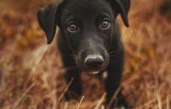 Kleiner schwarzer Welpe betrachtet mich Lizenzfreie Stockfotografie